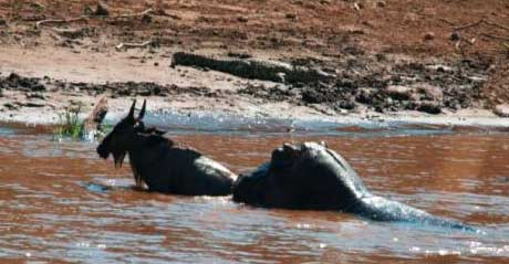 Kenya – Infant Wildebeest rescued…by a Hippo!